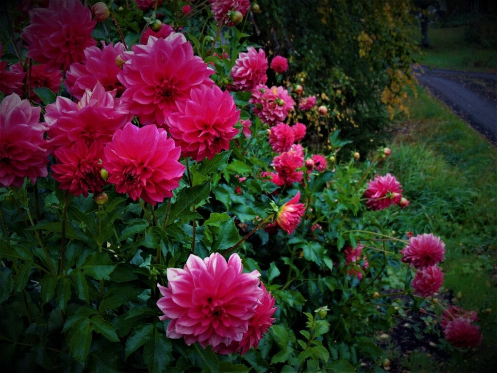 Punaiset kukat