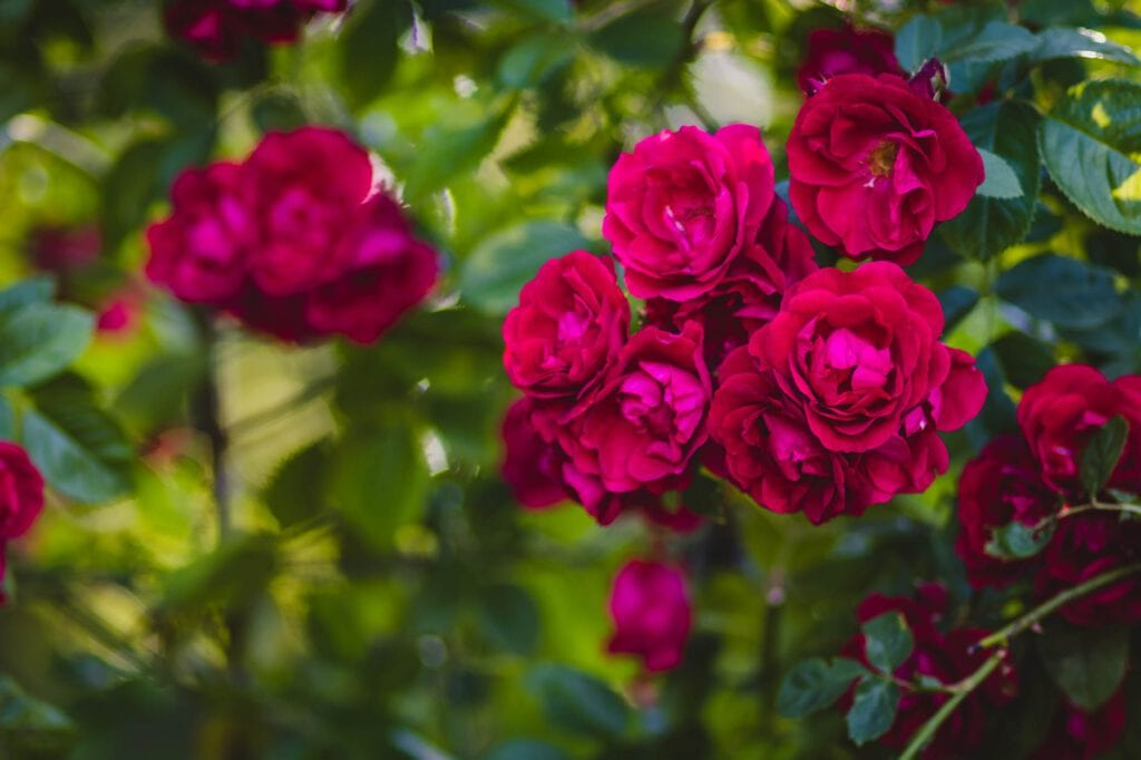 selective focus of red rose flowers