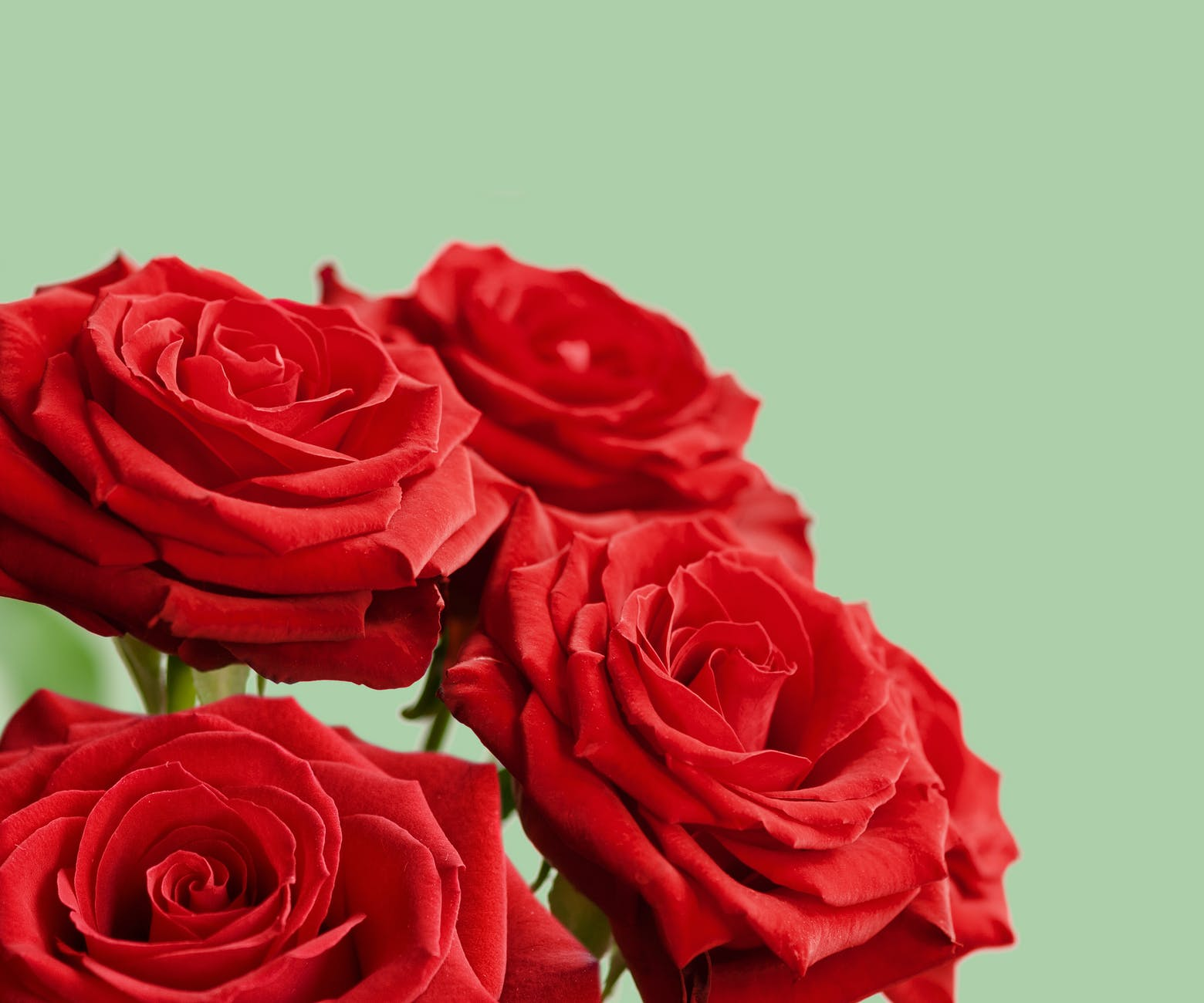 red rose flowers in close up view